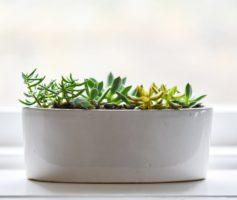 Muito fácil cultivar Suculentas